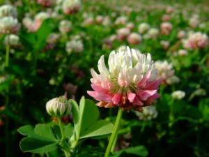 бело-розовый цветок, поле с цветами