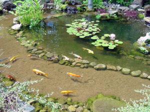 рыба в пруду во дворе дома