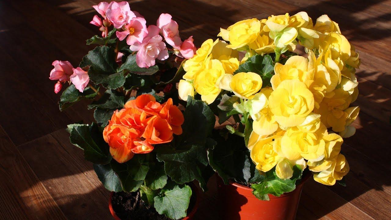 разноцветные цветы в горшках
