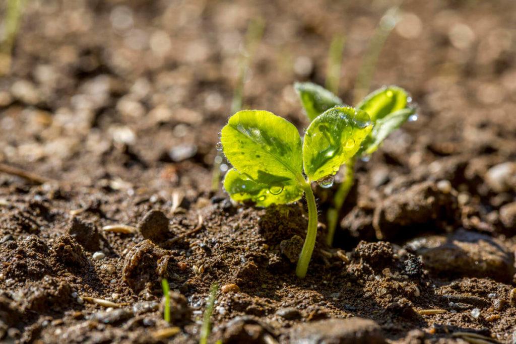 почва, росток, роса