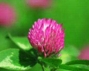 розовый цветок, листья зеленые