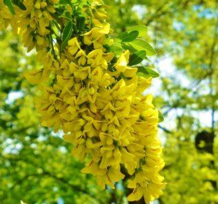 дерево, желтые цветки