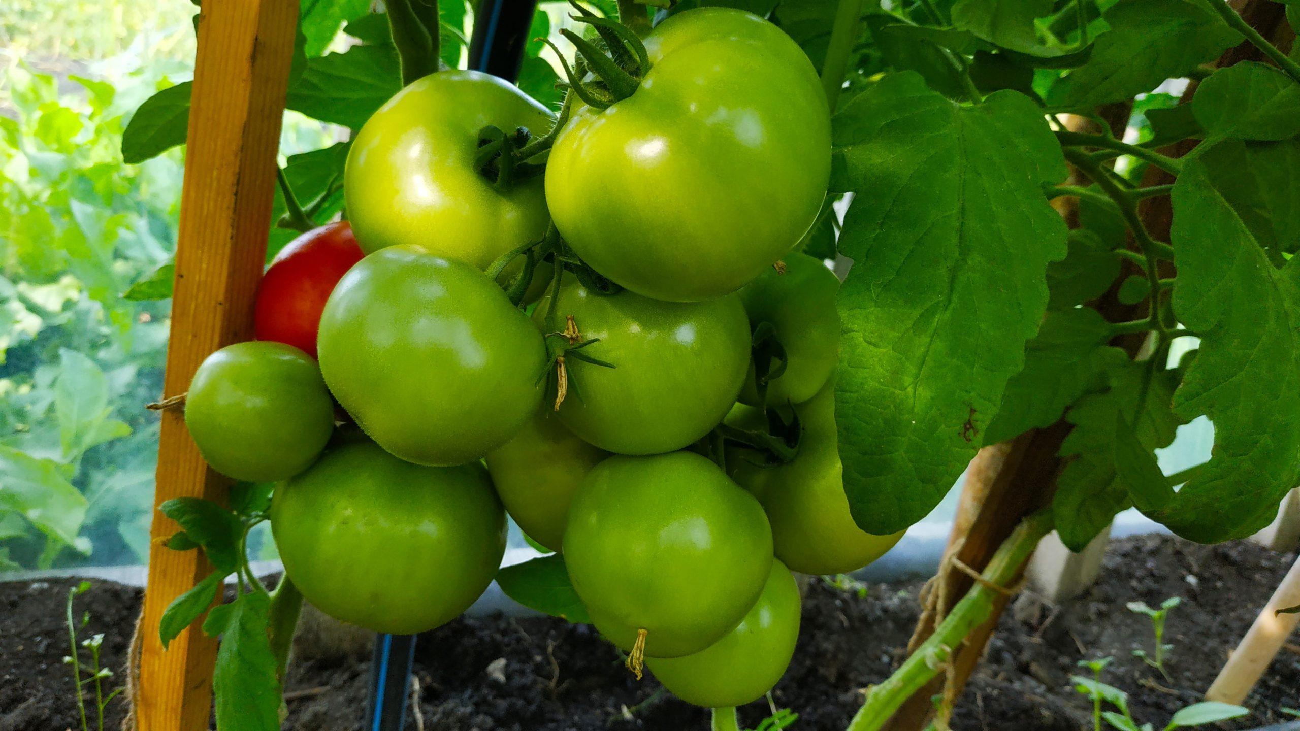 Сорт помидоров «Оля»
