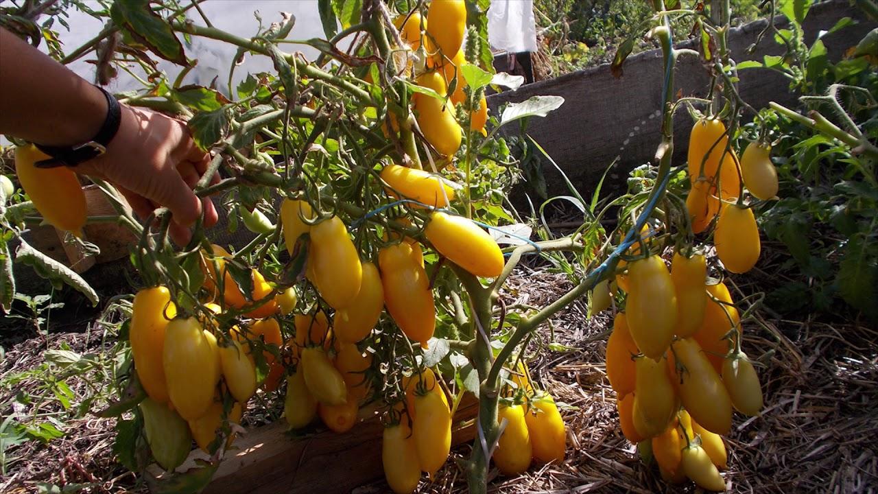 Банановые ноги томаты