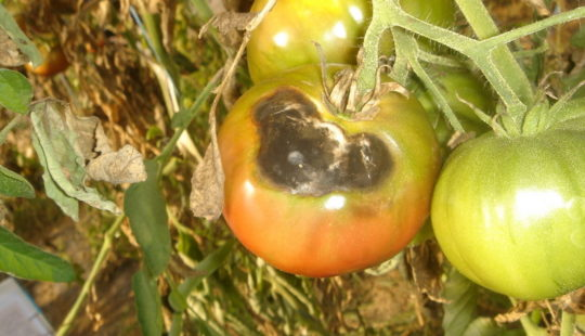 Мухи едят помидоры