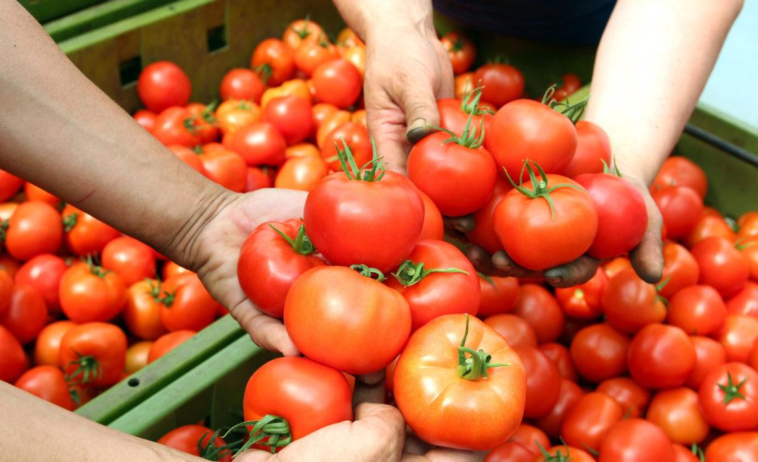 7 кг с одного куста 5 самых плодородных сортов томатов