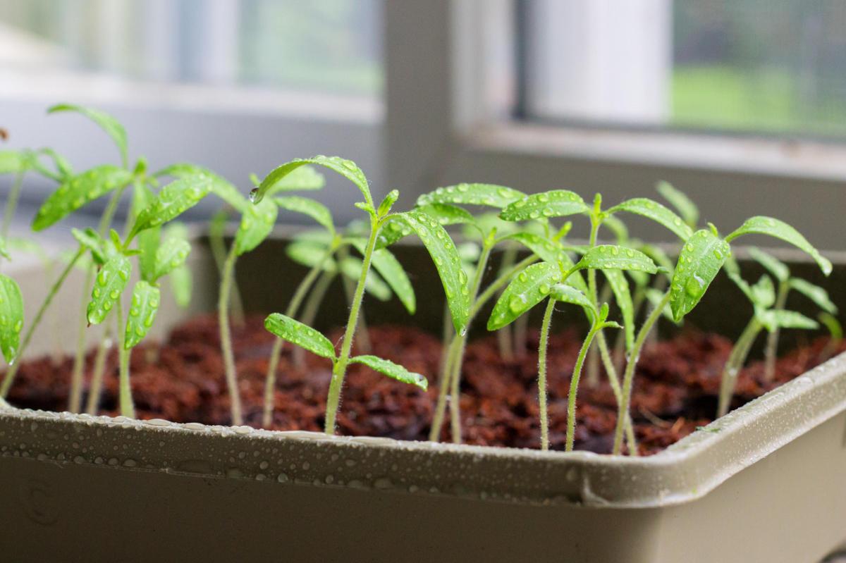 Появления первых ростков