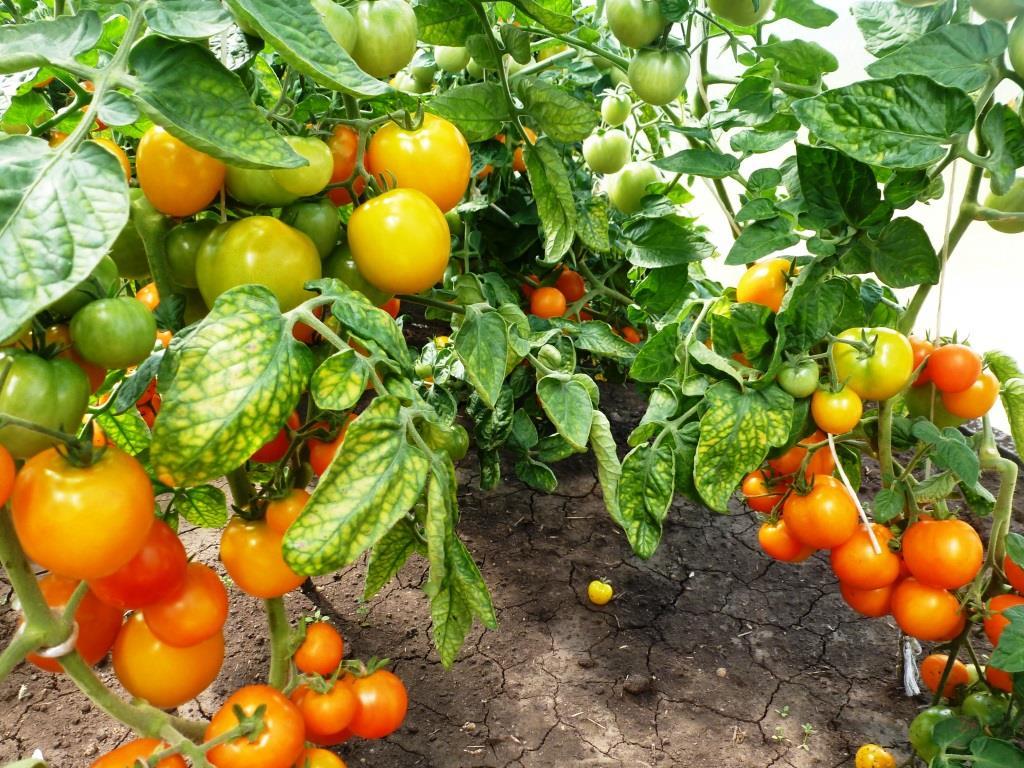 Очень скороспелый сорт томатов