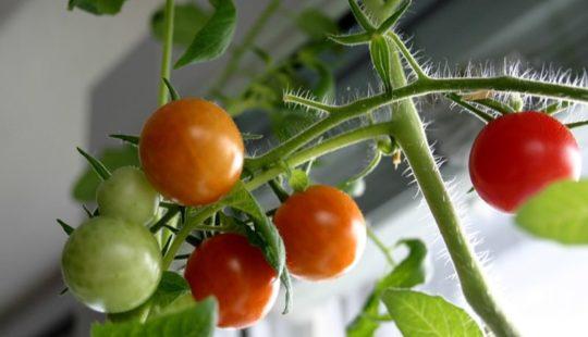 Давайте вместе вырастим ранние помидоры