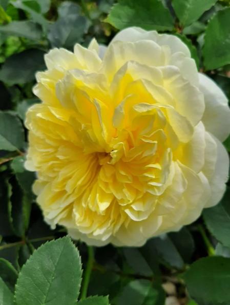 Зе Пилгрим. Английская кустовая роза