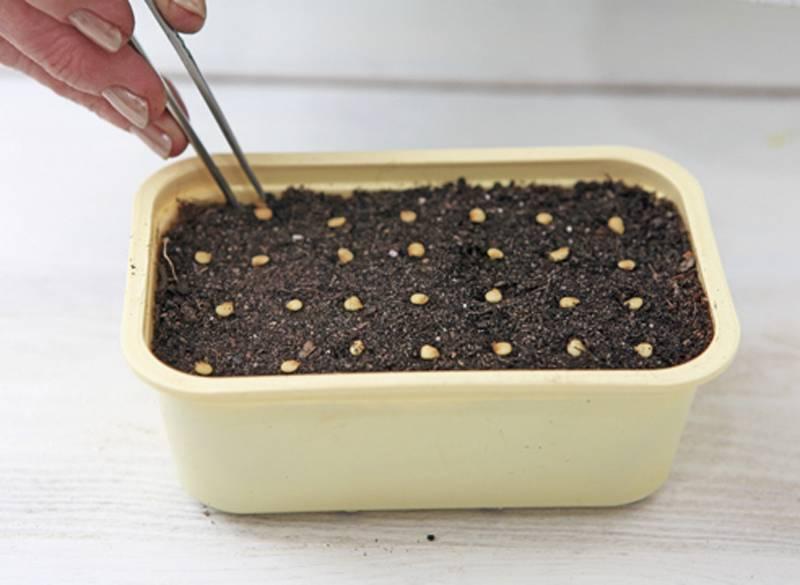 Посадки семян перца