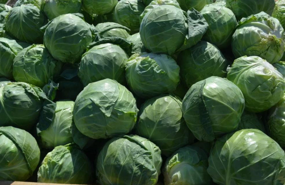 Урожайный сорт капусты