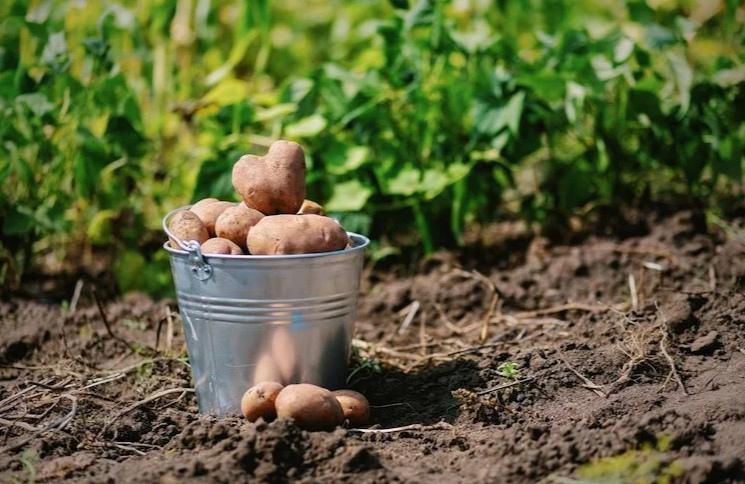 Как я сажаю картошку