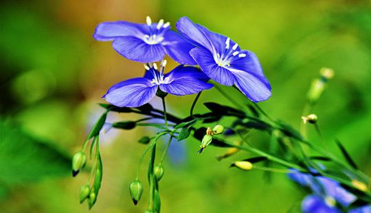 Лен - прекрасный, нежный цветок для сада