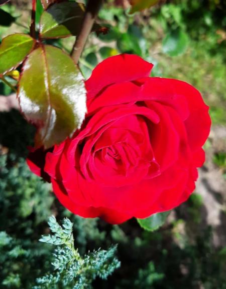 Процесс выбора роз