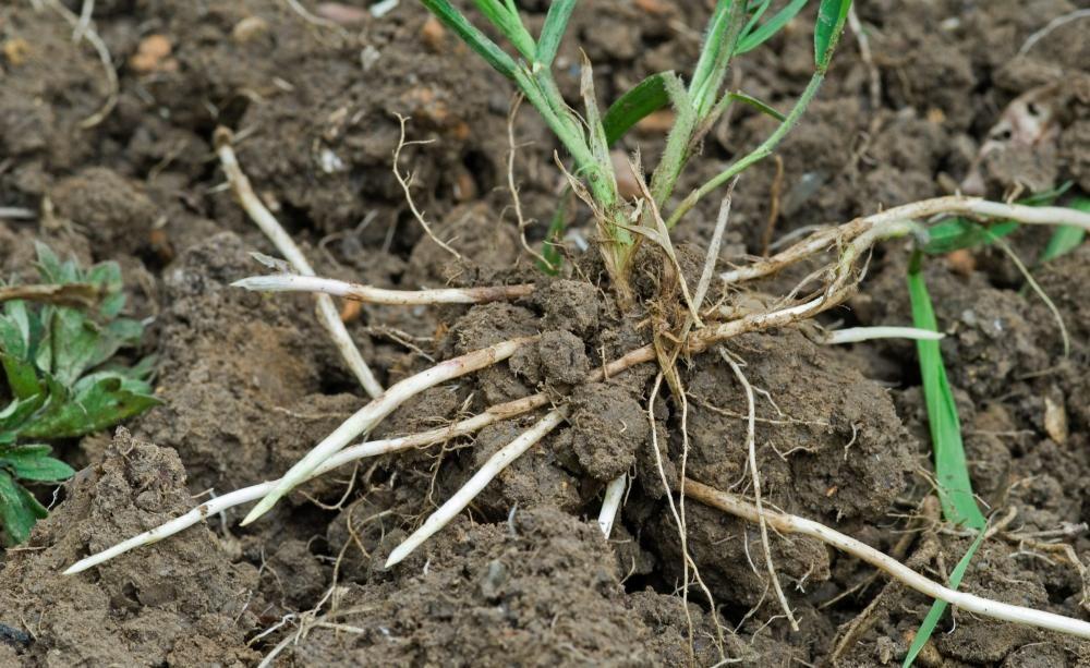 Избавляемся от пырея на нашем участке вместе с корнями