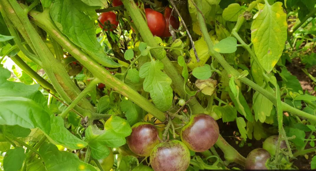 Чёрный мавр томаты