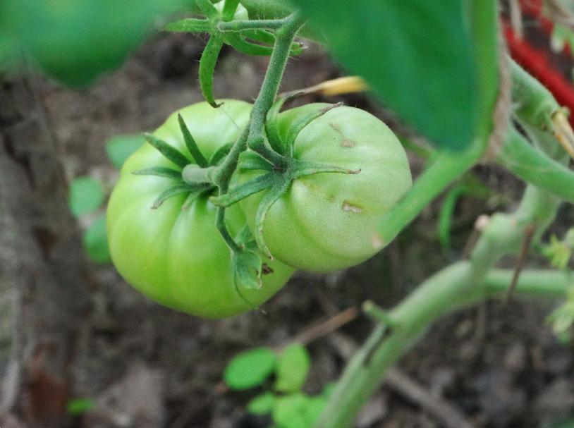 Сорт томата малиновый ранний