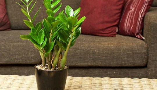 Мое новое растение - замиокулькас