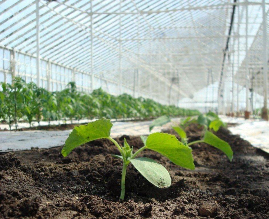 Рассаду огурцов высаживаю