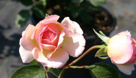 Процесс выбора роз из каталога