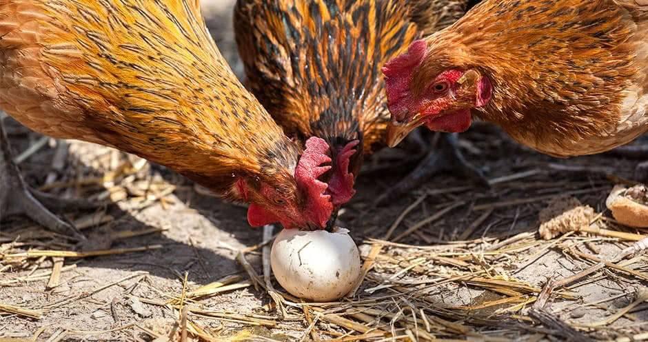 Как отучить кур клевать свои яйца