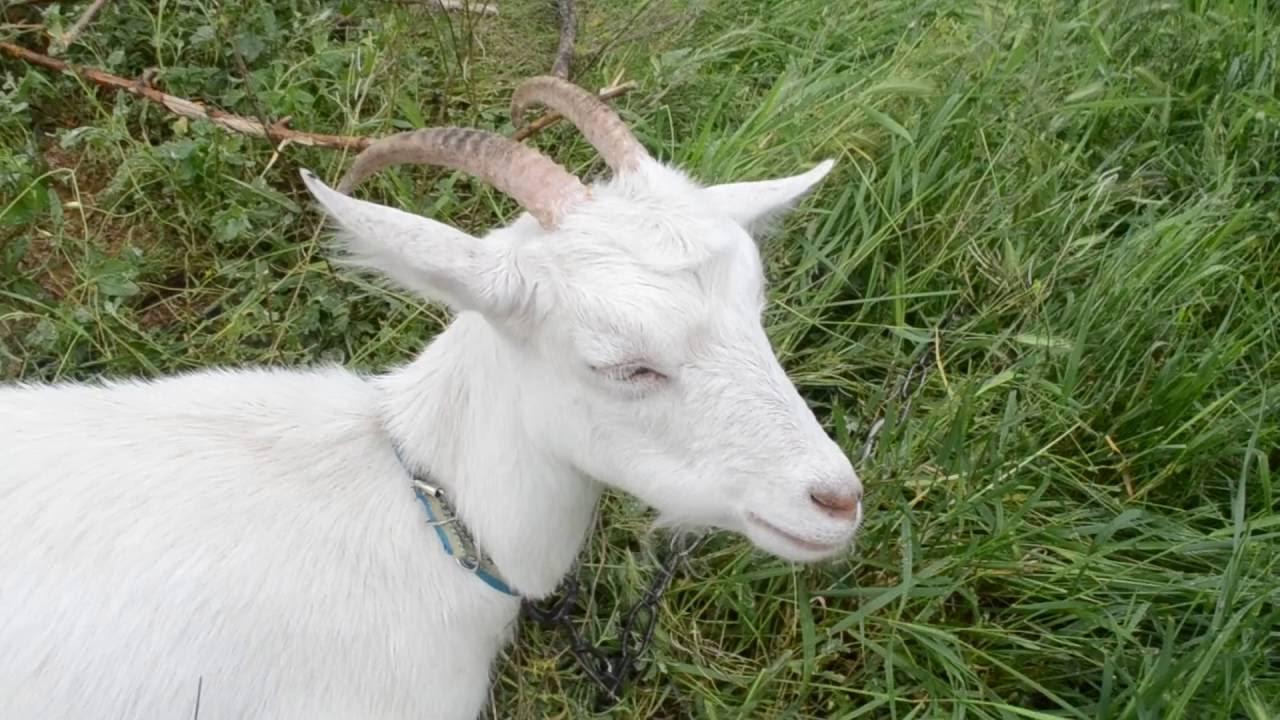 Завела козу