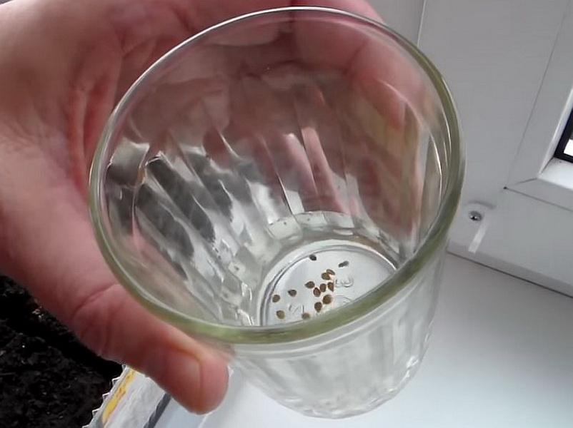 Семена замочить в перекиси водорода