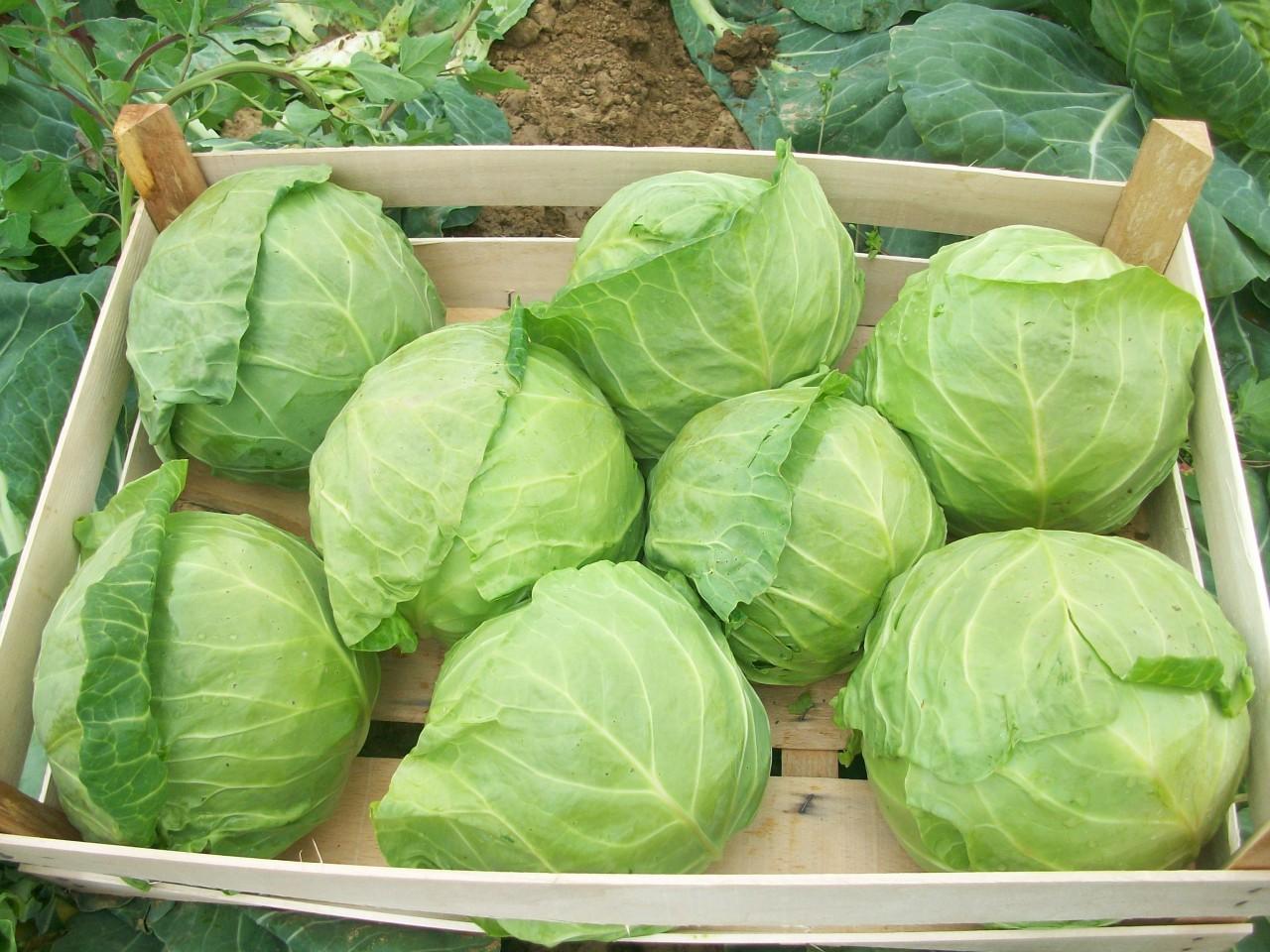 Сорт капусты который дает высокий урожай