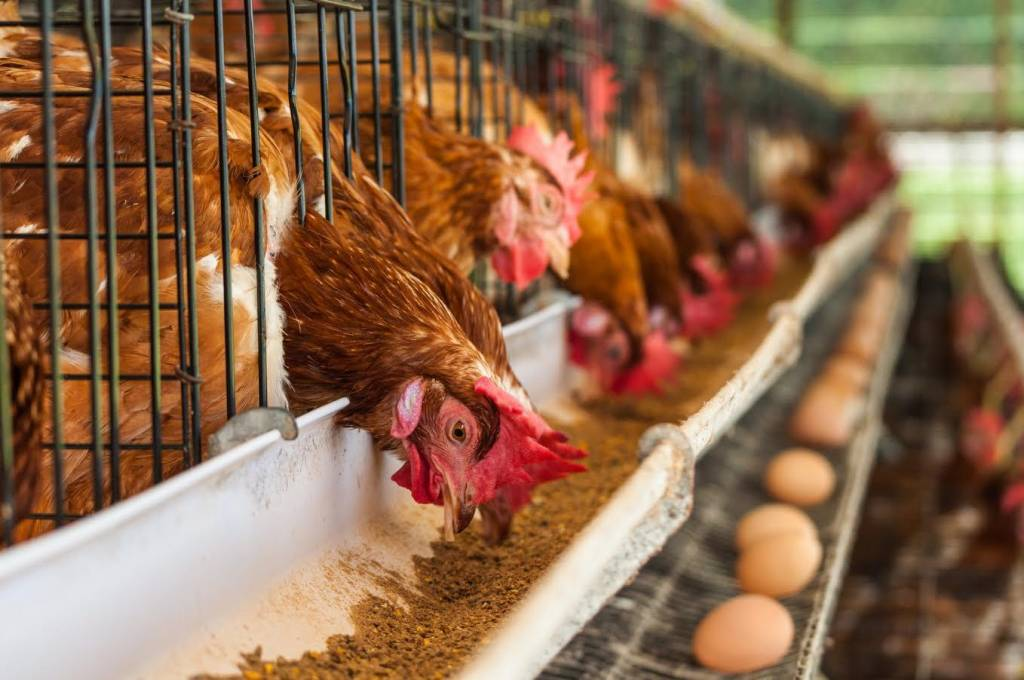Курицу кормят гормонами
