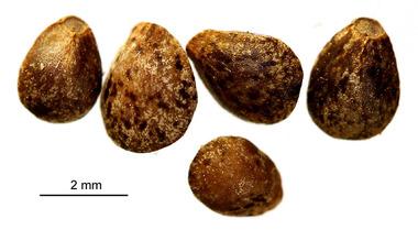 семена пикульник