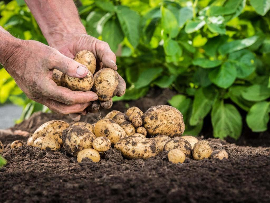 Как я сажаю картошку и ухаживаю за ней с наименьшими физическими затратами