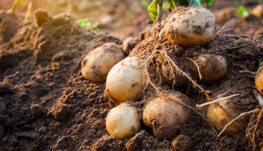 Увеличила урожай Картофеля