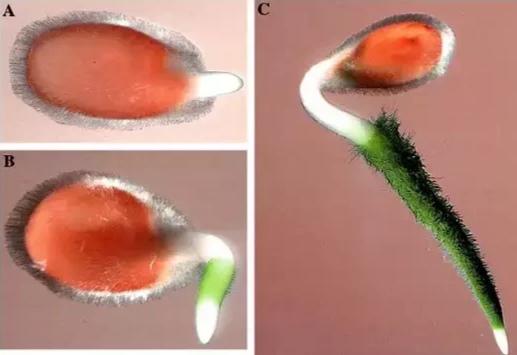 Семена томатов в воде