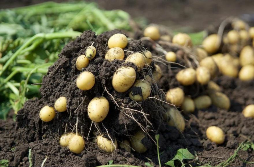 Как повышают урожайность картошки
