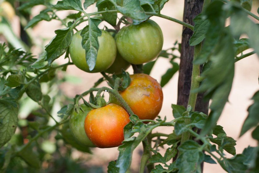 Сорт томатов без вкуса и запаха
