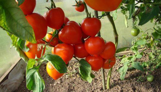 Вырастить помидоры в теплице
