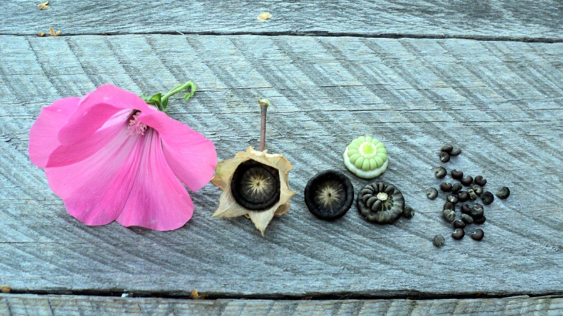 Фото семян лаватеры