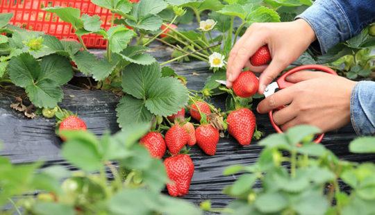Что поможет увеличить урожай клубники