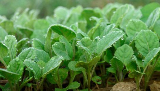 когда сажать на рассаду капусту белокочанную