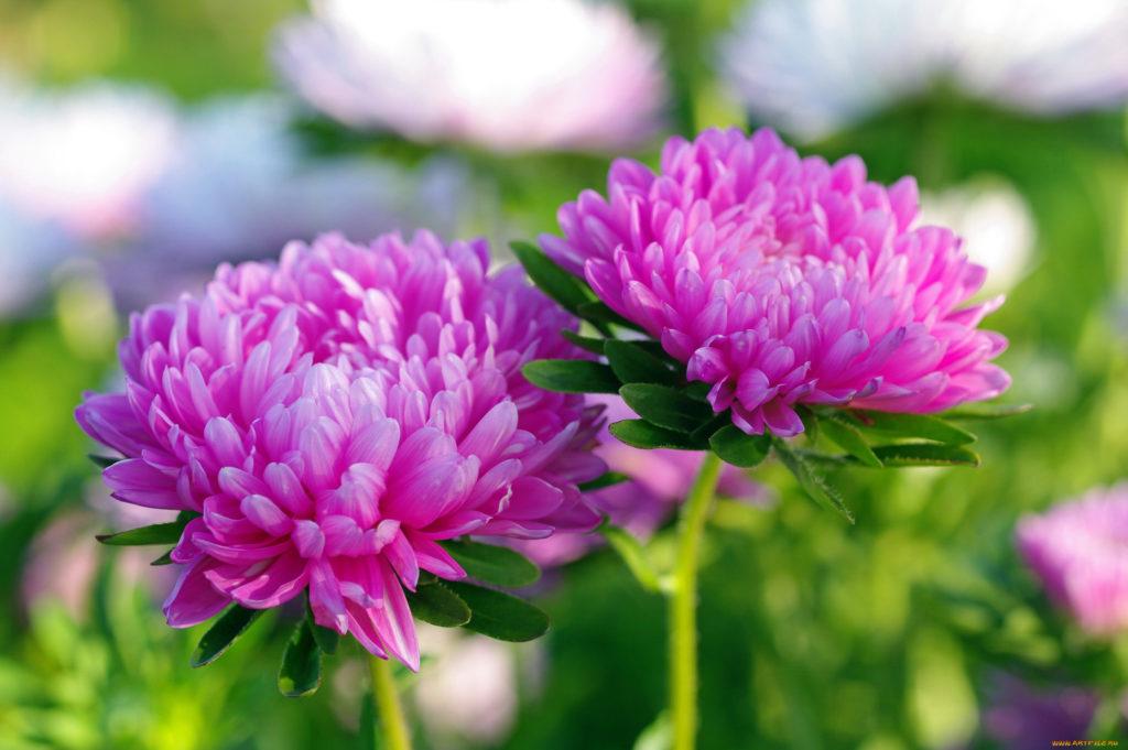 астра цветок