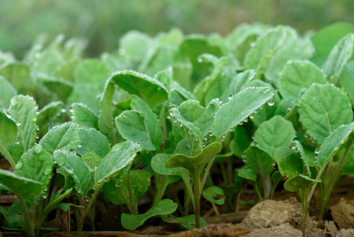 посадка капусты на рассаду из семян