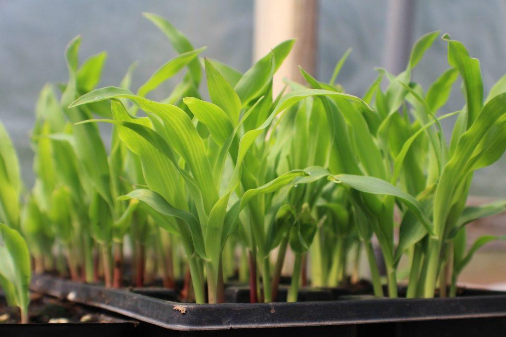 рассада кукурузы