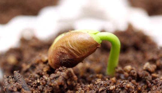 Старые и плохо всходящие семена прорастут