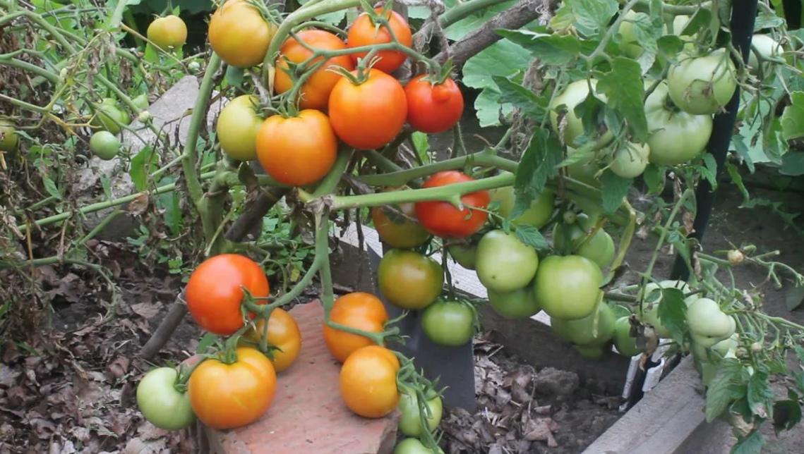 Безрассадныйсорт томатов