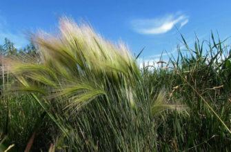 Ковыль трава
