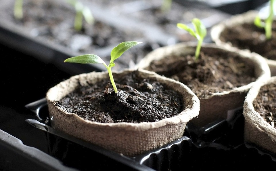 Посев перцев на рассаду