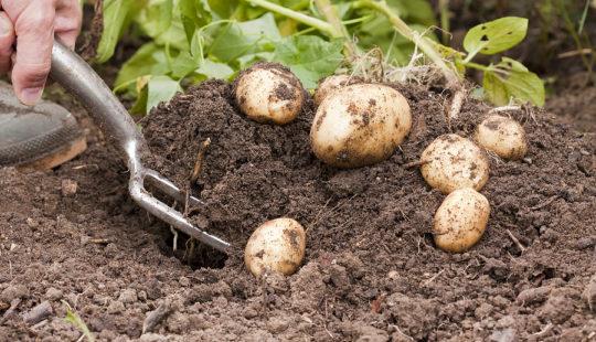 Выращиваем картошку
