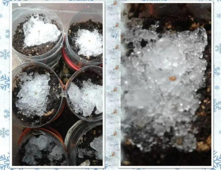 Посев семян поверх снега