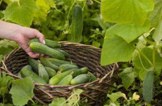 Урожай в нашей теплице